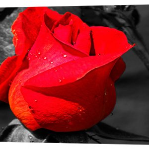 Картина на холсте Декор Карпаты Роза 50х100 см (c430)